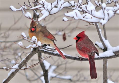 cathy s craft corner cardinals in the snow i mean rain