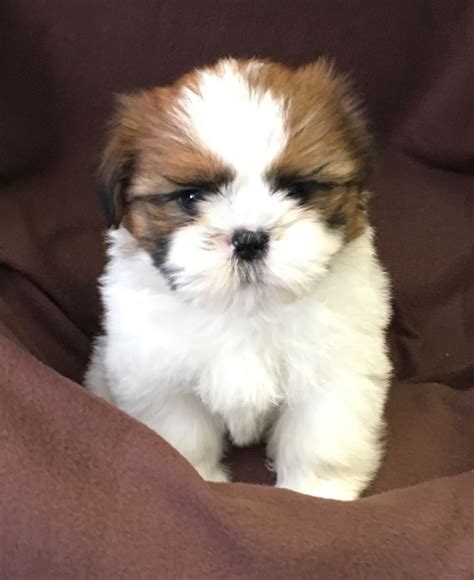shih tzu puppies for sale in east puppies for sale in uk oxfordshire pets world