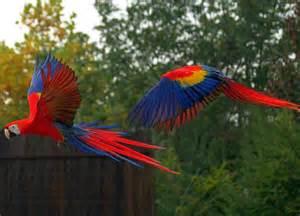 Jamaican parrots wallpaper forwallpaper com