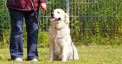 everything you need to about golden retrievers golden retriever 7 things you need to