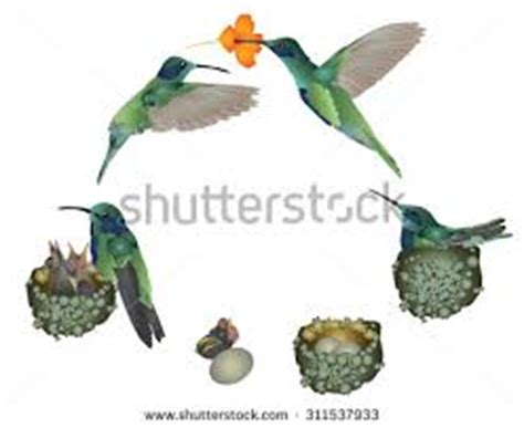 hummingbird life cycle
