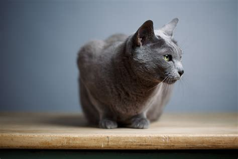 independent breeds 6 most independent cat breeds iheartcats