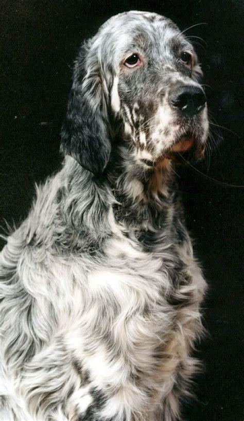 miss ali english setter dog breeds 50 best hunting dogs images on pinterest animal