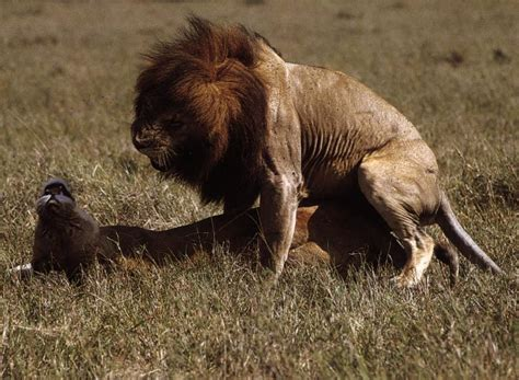 african animals mating videos african animals mating videos newhairstylesformen2014 com