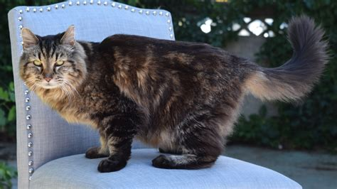 oldest alive meet corduroy the world s oldest living cat today