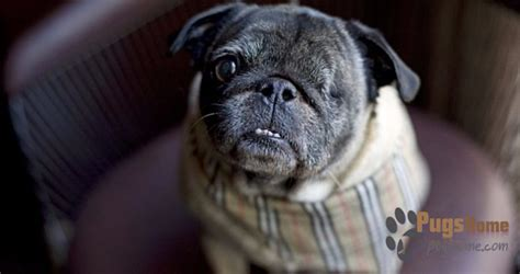 adopt a pug nyc pug rescue new york what to look for while rescuing pugs