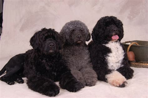 puppy water about the pwd afortunado portuguese water dogs