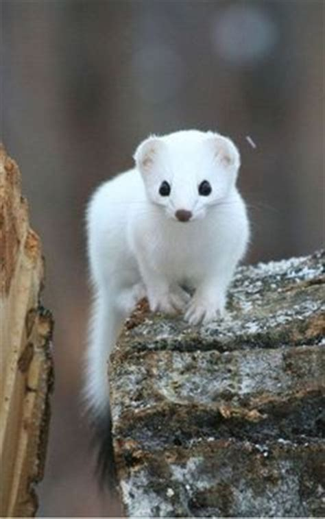 1000 Images About Arctic Animals - 1000 images about ermine and weasels make me happy on