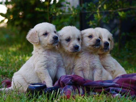 light golden retriever mistywood s light golden retrievers puppies for sale