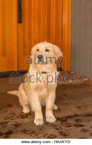 four month golden retriever portrait of a golden retriever 4 month puppy isolated on stock photo