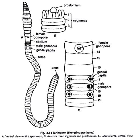 diagram of earthworm with label dissection of earthworm with diagram zoology