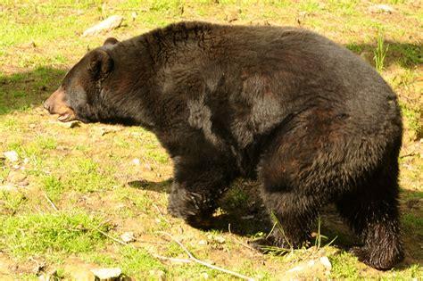 medved baribal zoo olomouc svaty kopecek