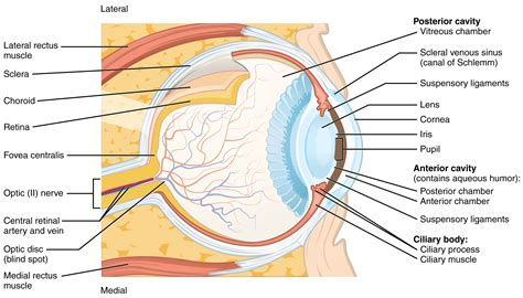 schematic section of the human eye parts of the eye diagram and function parts free engine