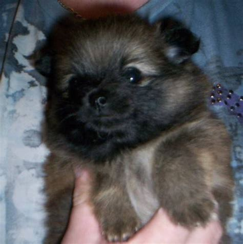 pomeranians for sale in bc pomeranian puppies for sale adoption from abbotsford columbia fraser valley