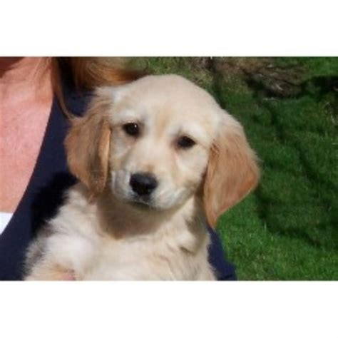 golden retriever rescue uk south east housty kennels golden retriever breeder in swansea swansea listing id 17002