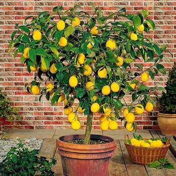 fruit trees for sale 25 best ideas about fruit trees for sale on
