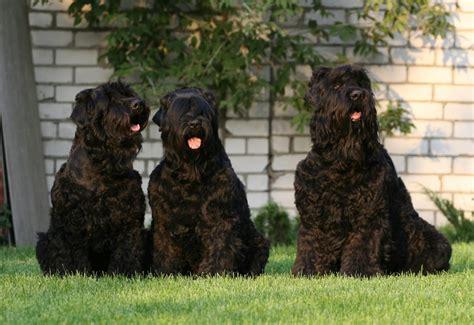 russian doodle puppy black russian terrier o terrier ruso negro razas de