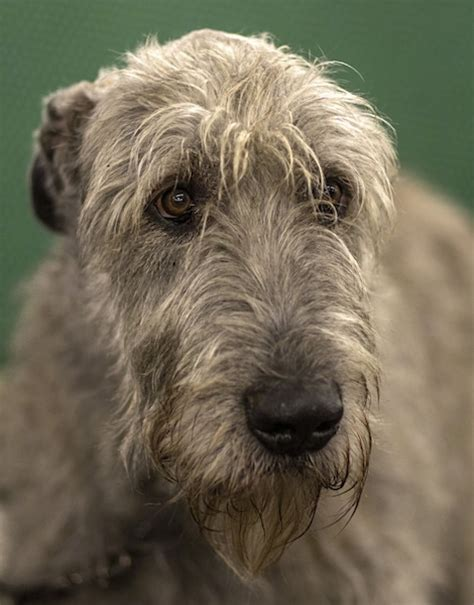 Wolfhound Shedding by Wolfhound Pictures And Photos 1 Breeds Picture