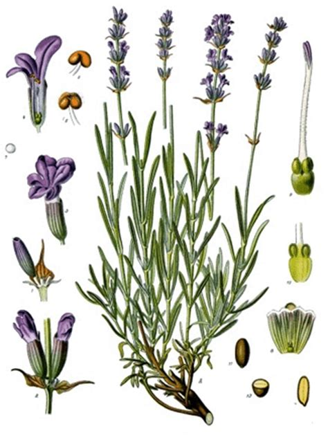Lavendel Steckbrief by Lavendel Steckbrief