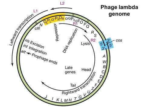 q protein bacteriophage lambda microbial genetics genetics ppt