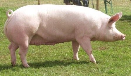 4 exotic pig breeds recommended for commercial pig farming