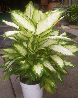 17 best images about plants on madagascar the 17 best images about i houseplants on