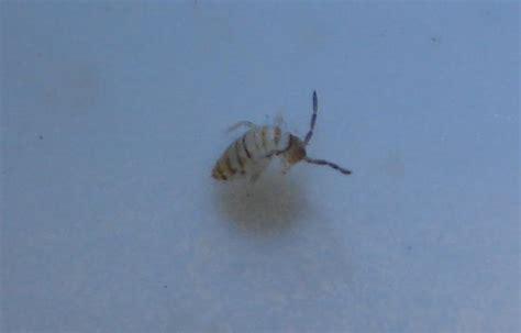 Tiny Bugs In Sink by Tiny Bugs In Sink Entomobrya Atrocincta Bugguide Net