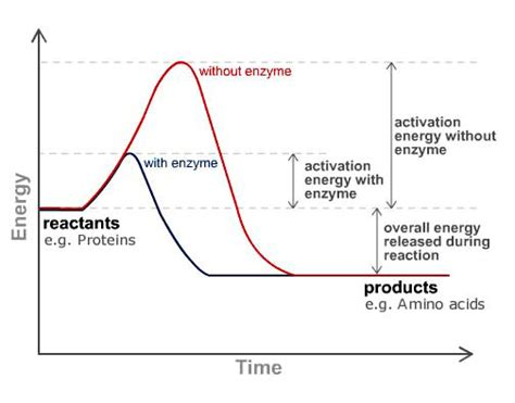 3 ways carbohydrates are used by cells definition of enzymes how they work benefit health