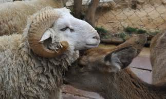 Animal Matting by Doe I Make You Baby Ram And Deer Fall In At