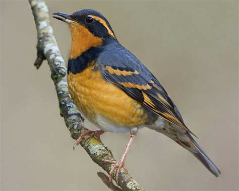 varied thrush audubon field guide