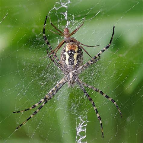 Garden Spider Argiope Argiope Trifasciata Banded Garden Spider
