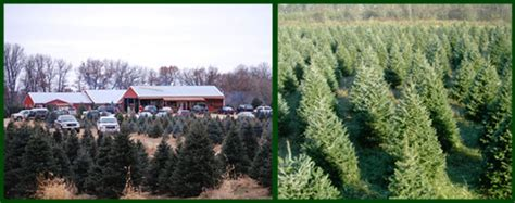 pinestead christmas tree farms and lot isanti minnesota