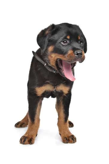 how to house a rottweiler puppy learning how to a puppy not to mess in the house