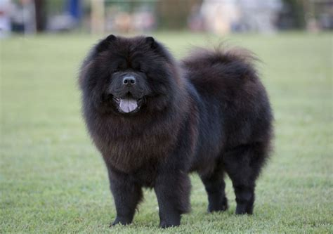 black chow puppy the 20 cutest photos of chow chow dogs best photography landscapes and animal