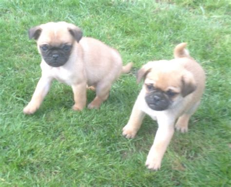 newborn pug puppies for sale pug puppies for sale available now breeds picture
