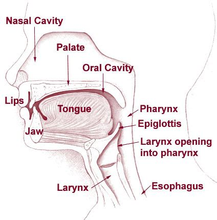 3 sections of the pharynx the alimentary canal boundless anatomy and physiology