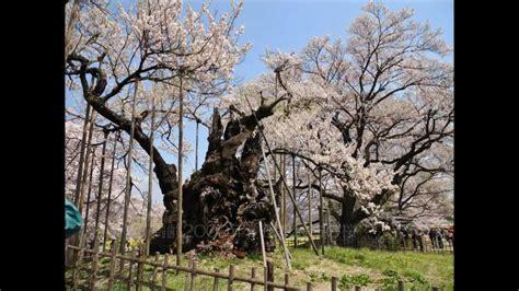 cherry tree investments v landmain 2012 日本最古の桜 山高神代桜 樹齢2000年 japnese oldest cherry tree 2000years