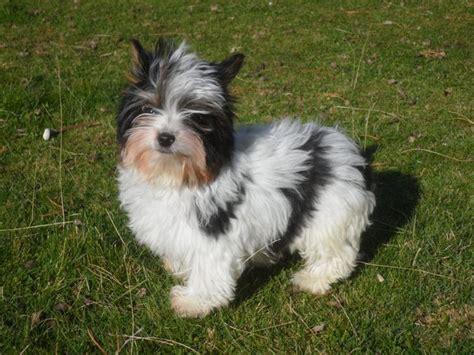 yorkies for sale in montana montana miniature dachshunds for sale mt yorkie puppies for sale