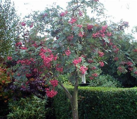 Seprei My Pink Pagoda sorbus cashmiriana rowan tree
