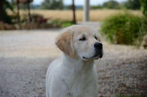 alimentazione cucciolo golden retriever golden retriever cucciolo maschio 4 mesi 246341
