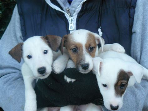 smooth fox terrier puppies smooth fox terrier x parsons terrier puppies godalming surrey pets4homes