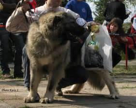 Caucasian ovcharka russian bear dog i7 caucasian ovcharka hunting