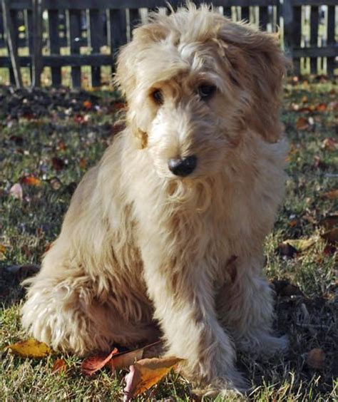 goldendoodle puppy names 706 best oodles of goldendoodles images on