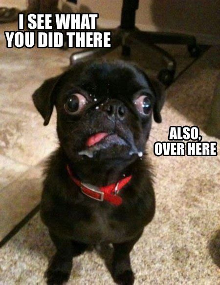 pug derp angry torro derp pug is on to you