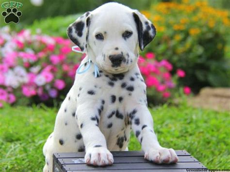 puppies for sale in pa 25 best ideas about dalmatian puppies for sale on