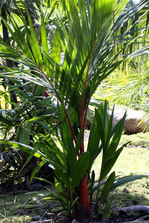 Planter Des Fougères by Cyrtostachys Renda Blume Palmier 195 L 195 168 Vres