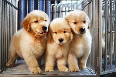 golden retriever puppies for free adoption golden retriever puppies for sale for sale adoption in singapore adpost