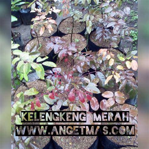 Bibit Tanaman Kelengkeng bibit tanaman buah kelengkeng merah anget anget