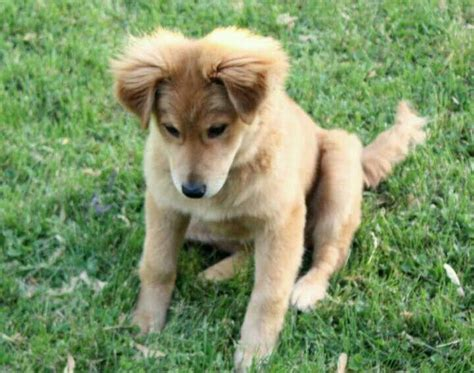 golden retriever collie mix 17 best images about gollie dogs on the golden border collies and cutest