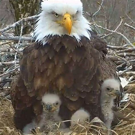 Headed Eagle best 25 bald headed eagle ideas on bald eagle